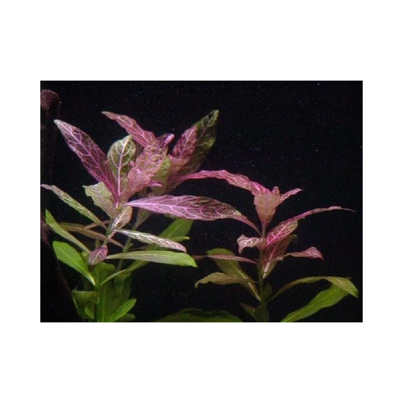 "Hygrophila Polysperma ""Rosanervig"" - Bulk Pack of 100 Nos"