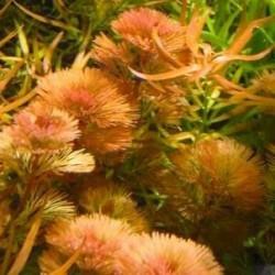"Limnophila Aquatica ""Red"""