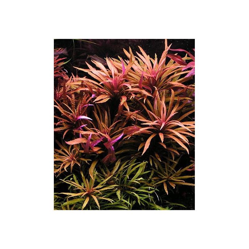 "Limnophila Aromatica ""Purple"""