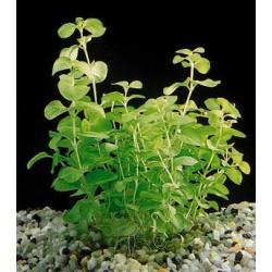 Lysimachia Nummularia Aurea - Bulk Pack of 100 Nos