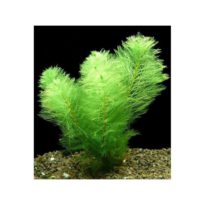 "Myriophyllum Scabratum ""Green"""