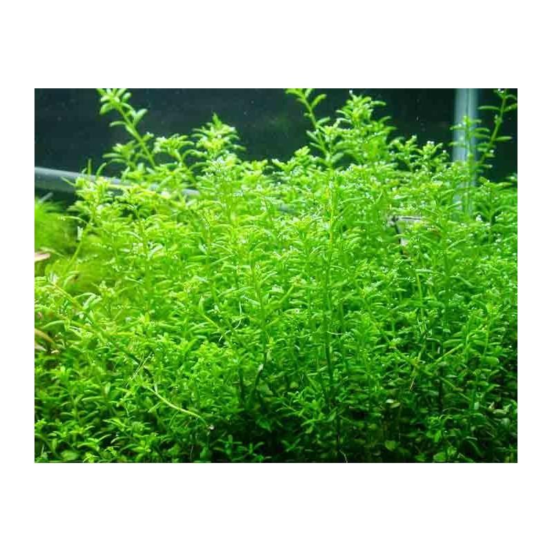 "Rotala Rotundifolia ""Green"""