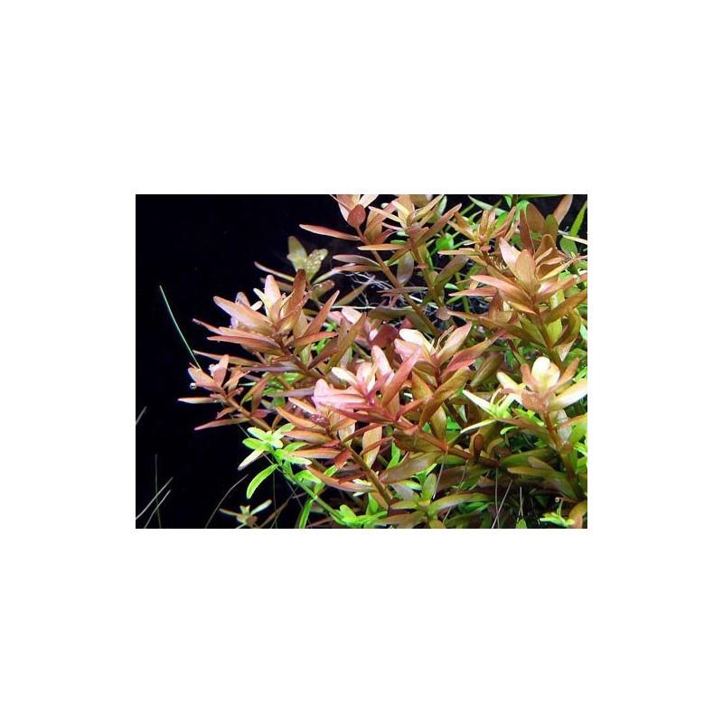 "Rotala Rotundifolia ""Pink"""