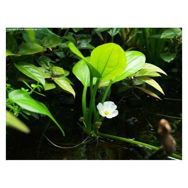 Echinodorus sp. Cordifolius