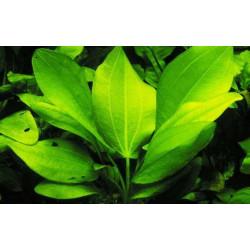"""Echinodorus Cordifolius """"Marble Queen Green"""""""