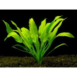 Echinodorus Amazonicus - MEDIUM