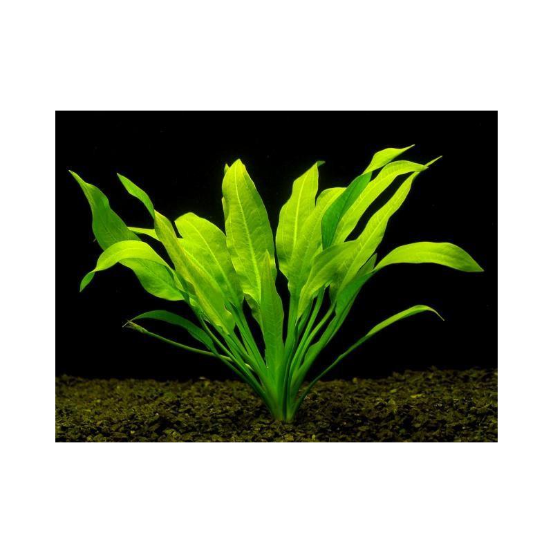 Echinodorus Amazonicus - BIG