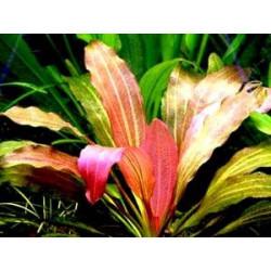 Echinodorus Rose - Bulk Pack of 10 Nos