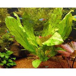 "Echinodorus sp. ""Ozelot"" - SMALL"