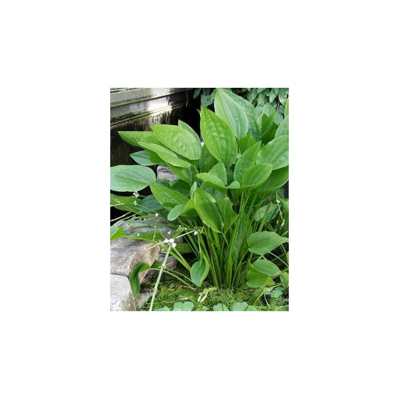 Echinodorus Argentinensis - MEDIUM