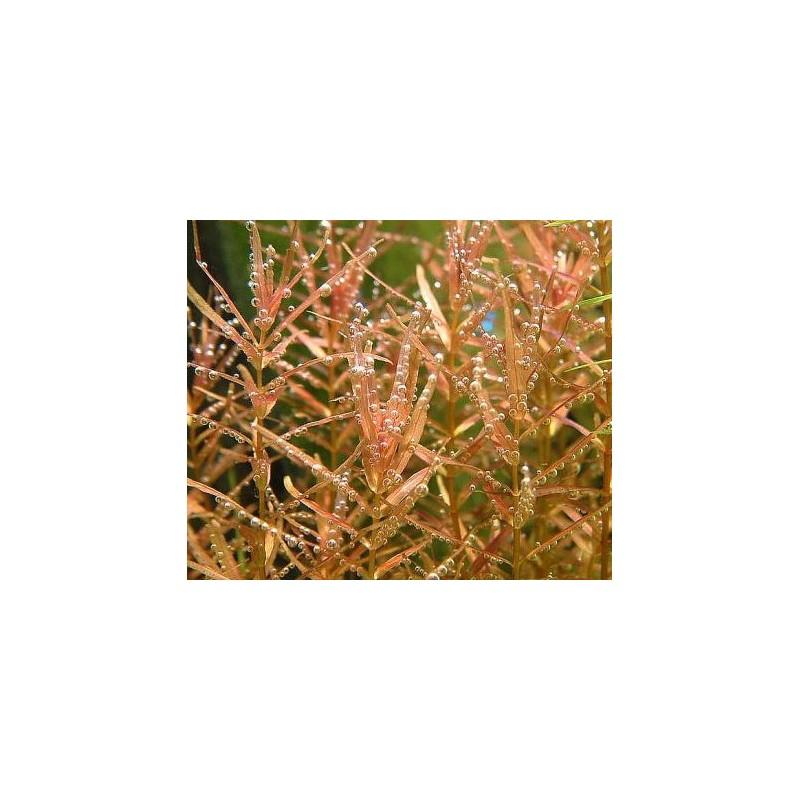 Rotala Macrandra 'Narrow Leaf' - Bulk Pack of 100 Nos