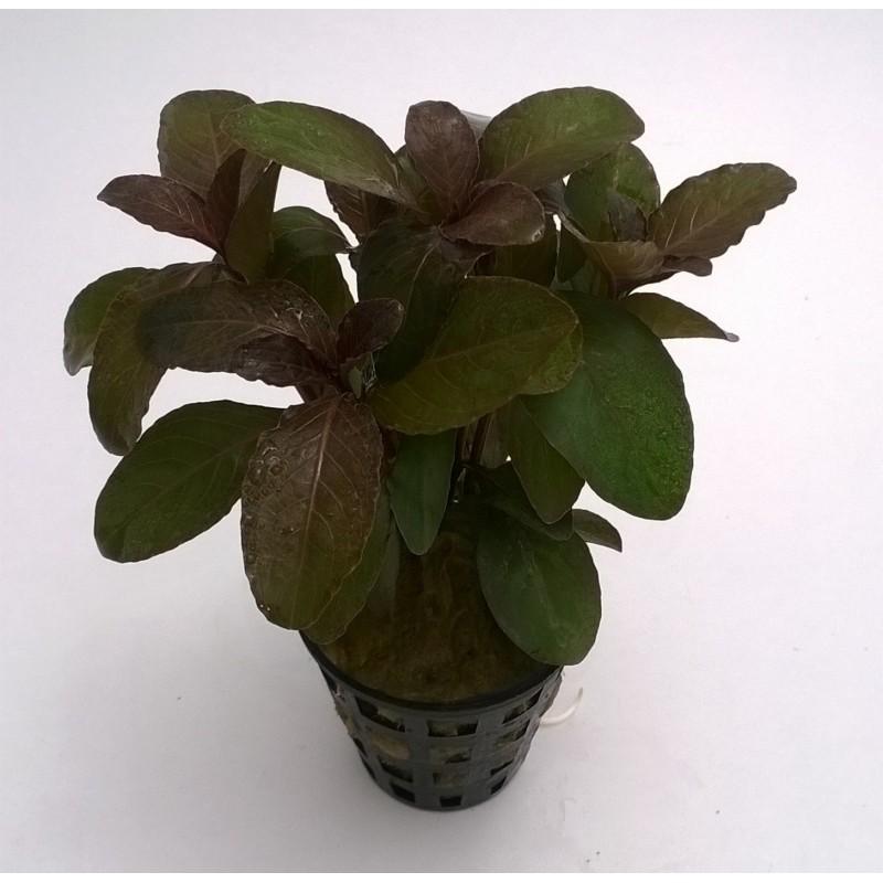 """Hygrophila sp. Quadrivalvis """"Apple Red"""""""