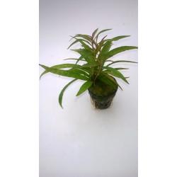 """Hygrophila sp. Quadrivalvis """"Needle Leaf"""""""