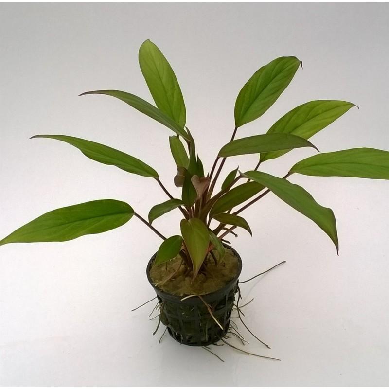 Aglaonema Simplex (Terranium Plant)