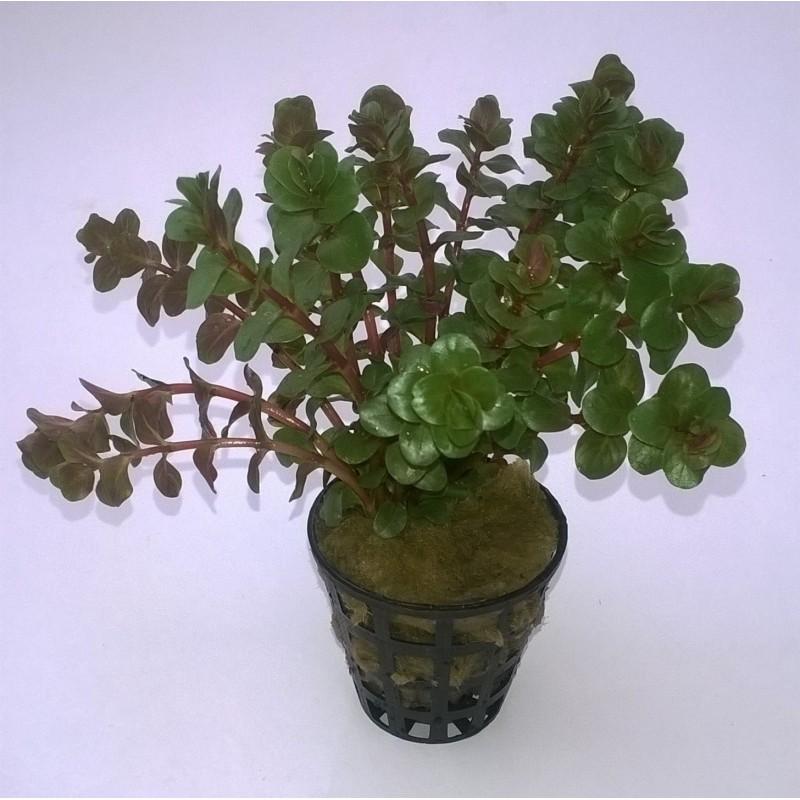 Rotala Rotundifolia 'Red'