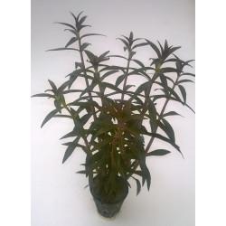 "Limnophila Aromatica ""Purple"" - POT"