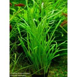 Lilaeopsis Macloviana - LOOSE