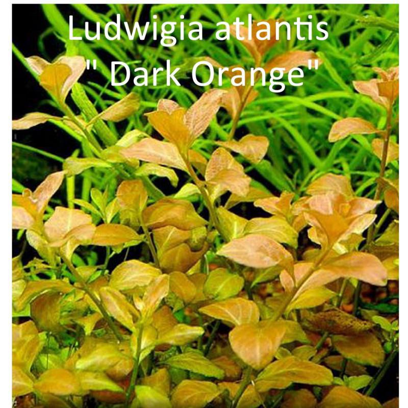 "Ludwigia Atlantis ""Dark Orange"""