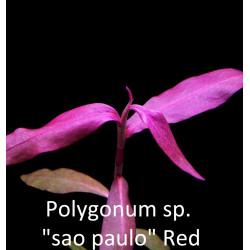 """Polygonum sp. """"Sao Paulo"""" Red"""