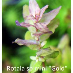 """Rotala sp. Mini """"Gold"""""""