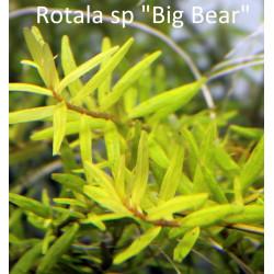 Rotala sp. Big Bear