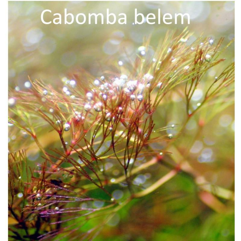 Cabomba Belem