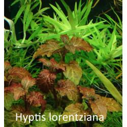 Hyptis Lorentziana