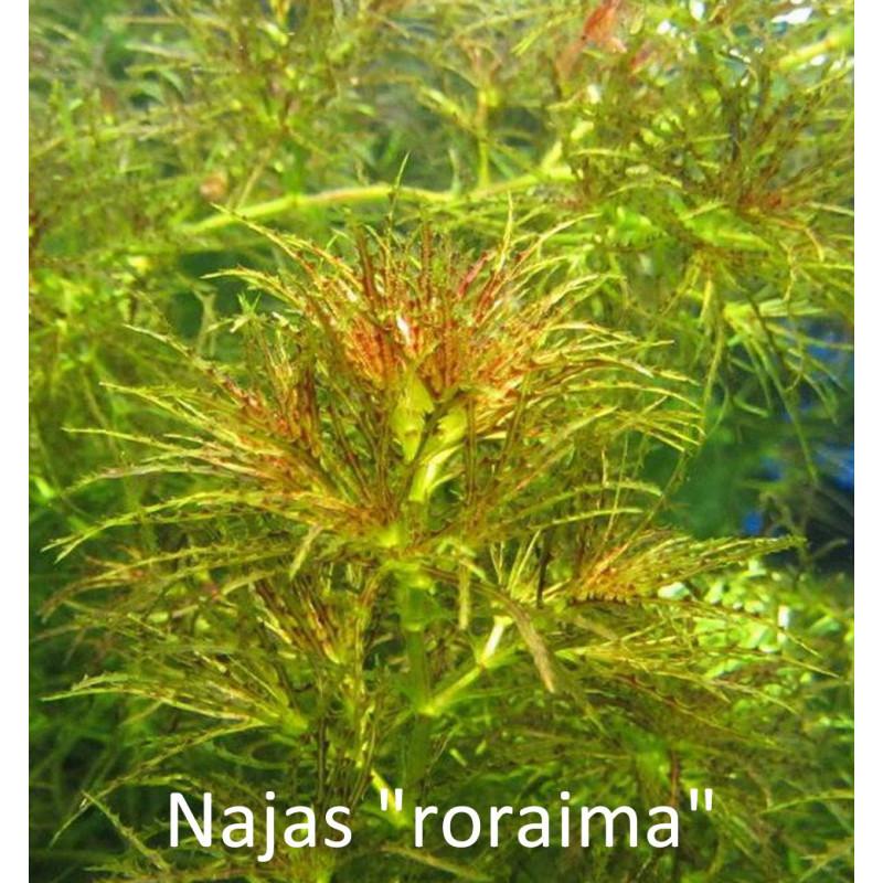 Najas Roraima