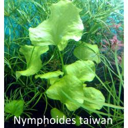 Nymphoides Taiwan - POT