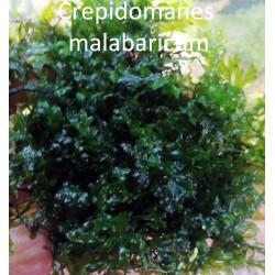 Crepidomanes Malabaricum - SS Mesh (5x5 CM)