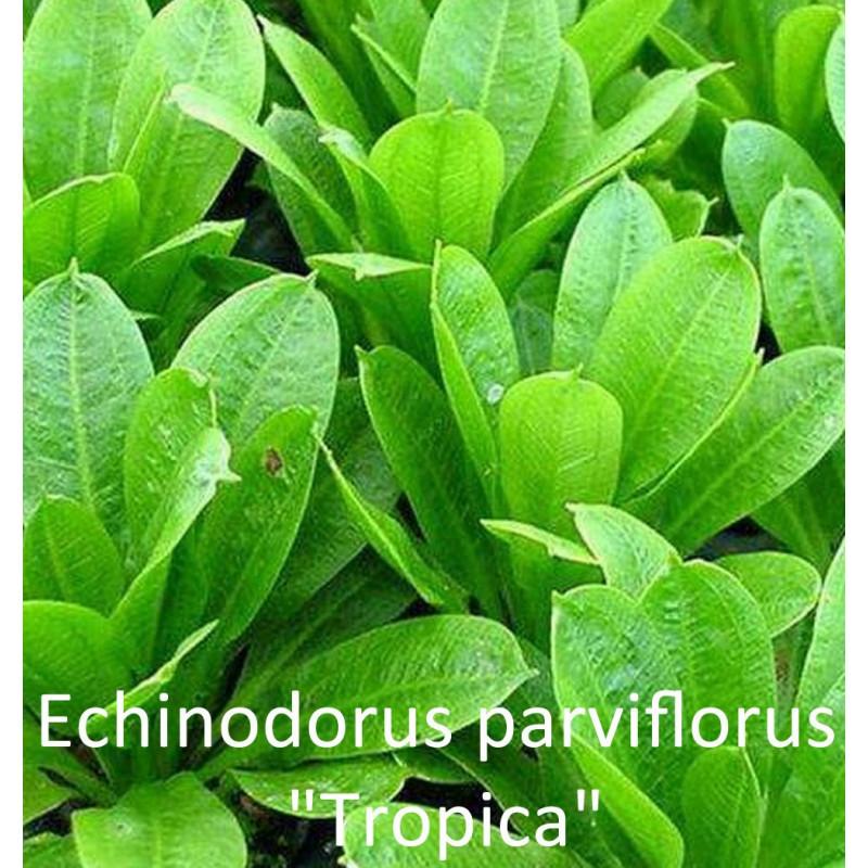 """Echinodorus Parviflorus """"Tropica"""""""