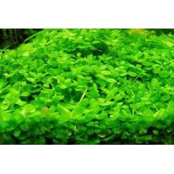 "Micranthemum ""Monte Carlo"" - Small MAT (3x3 Inch)"