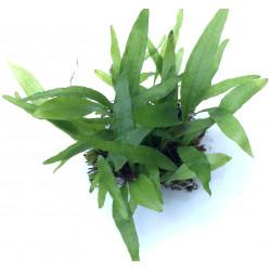 """Microsorum Pteropus """"Narrow Leaf"""" - SS Pad"""