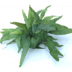 """Microsorum Pteropus """"Wrinkled Leaf"""" - On Rock"""