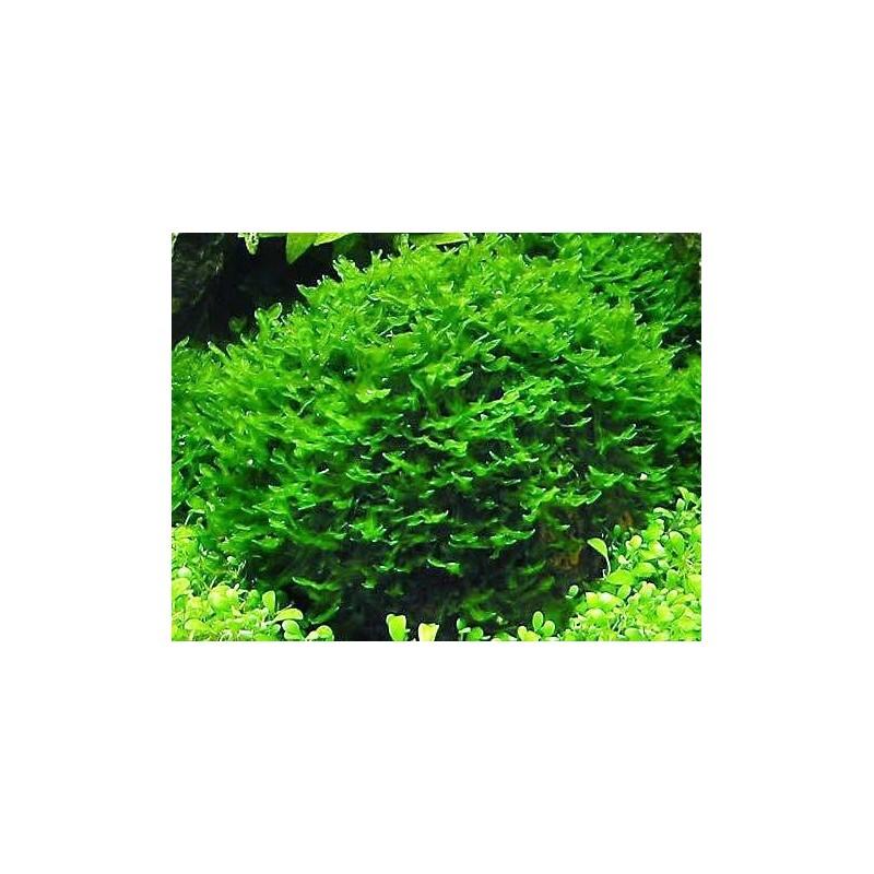 Monosolenium Tenerum (Pelia) - LOOSE