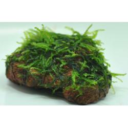 MOSS: Vesicularia Dubyana (Java Moss) - On Rock