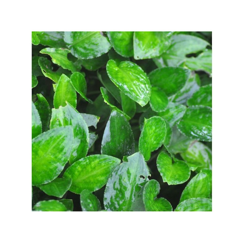 "Lagenandra Meeboldii ""Green"""
