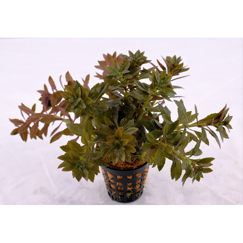 "Limnophila Aromatica ""Mini"" - LOOSE"