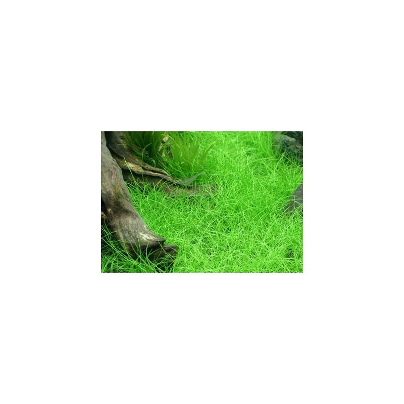 Eleocharis Parvula 'Japanese' - Bunch