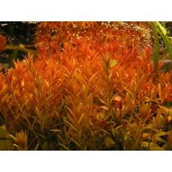 Rotala Rotundifolia 'Hi Red'