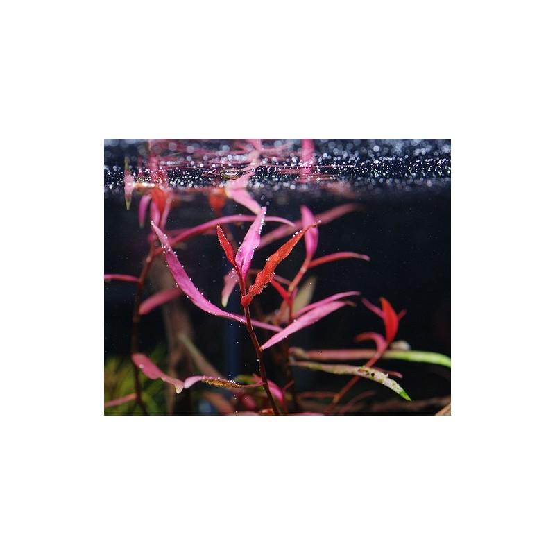 Polygonum sp. Pink