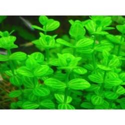 Lindernia Rotundifolia 'Variegated'
