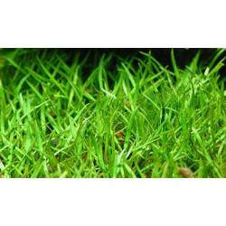 Lilaeopsis Brasiliensis - BUNCH