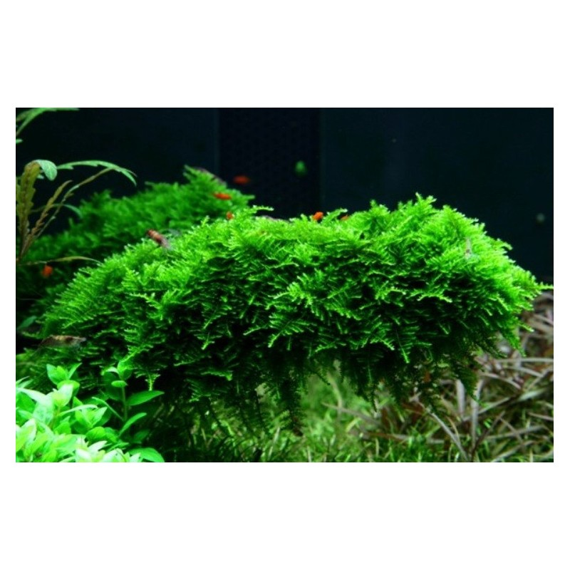Vesicularia Montagnei (Christmas Moss) - LOOSE - 1.5x1.5 Inch